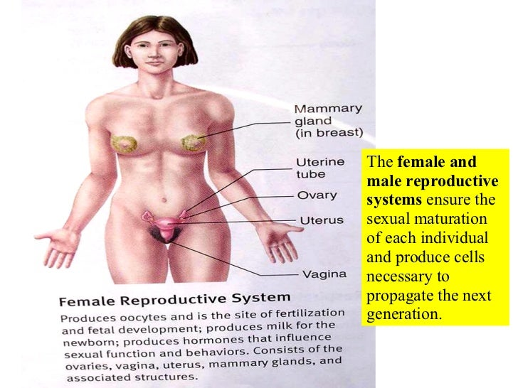 The  female and male reproductive systems  ensure the sexual maturation of each individual and produce cells necessary to ...