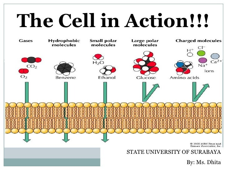 The Cell in Action!!!                STATE UNIVERSITY OF SURABAYA                             By: Ms. Dhita