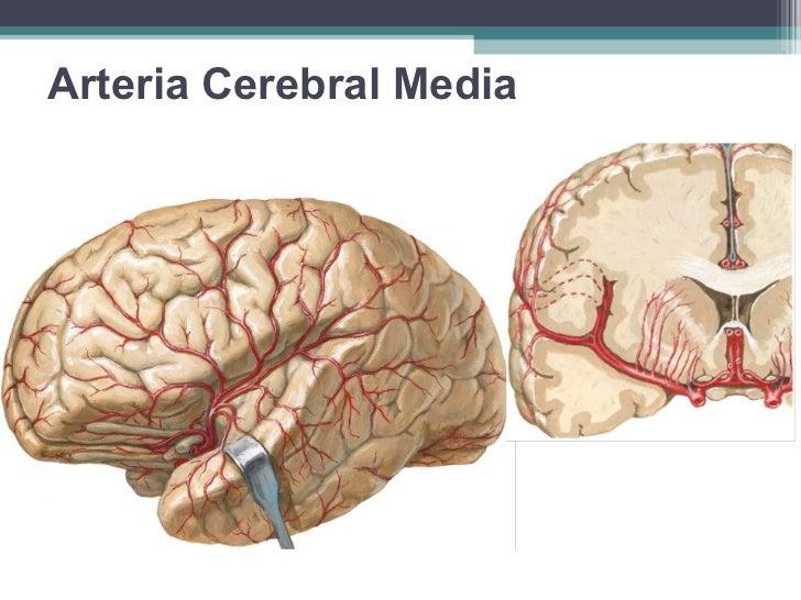 Resultado de imagen de arteria cerebral media