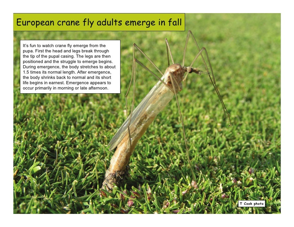 Crane Fly Pupae