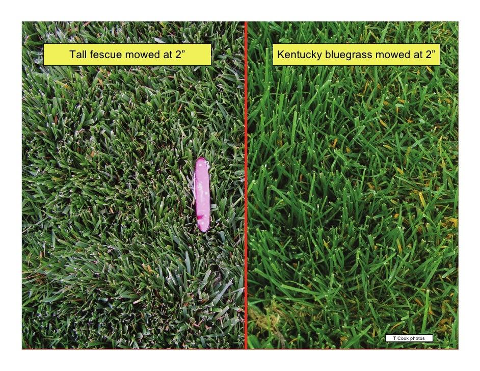 Identification of tall mature lawn grass
