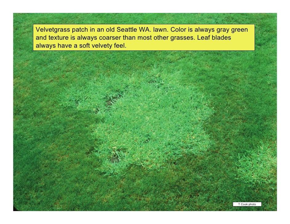 Best Vegetative Identification of Common Turfgrasses in the Pacific Northw… ZK34