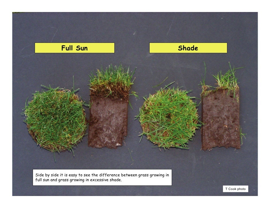 Turf Culture In Shade