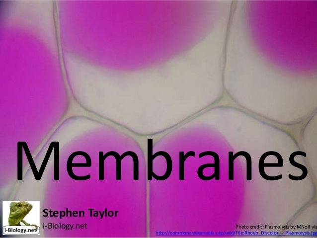 Membranes Stephen Taylor i-Biology.net  Photo credit: Plasmolysis by MNolf via http://commons.wikimedia.org/wiki/File:Rhoe...