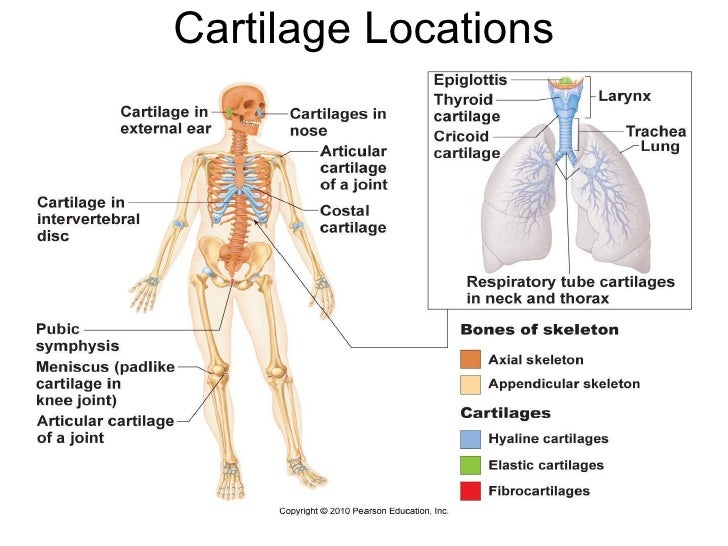 2401 Lecture05 Ch 6 Bones And Bone Tissue For Class And Web
