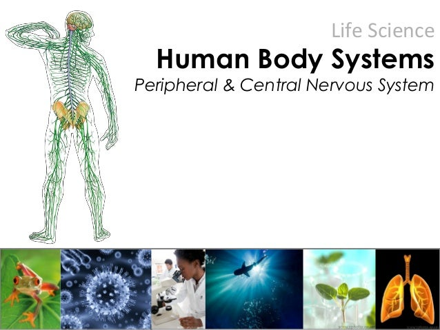 Life Science Human Body Systems Peripheral & Central Nervous System