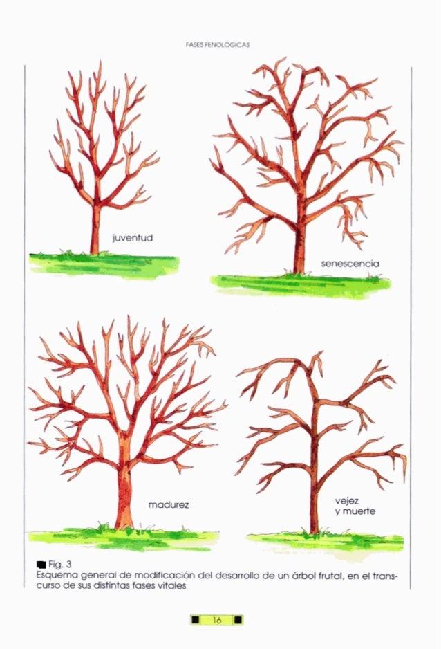 luventud - madurez I vejez y muerte . - * -Fig.3 Esquemageneralde modificacióndel desarrollode un árbolfrutal, en el trans...