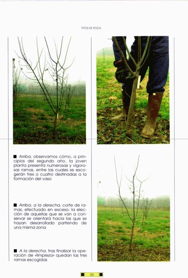 Arriba, observamos cómo, a prin- cipios del segundo alio, la joven planta presenta numerosasy vigoro- sas ramas, entre las...