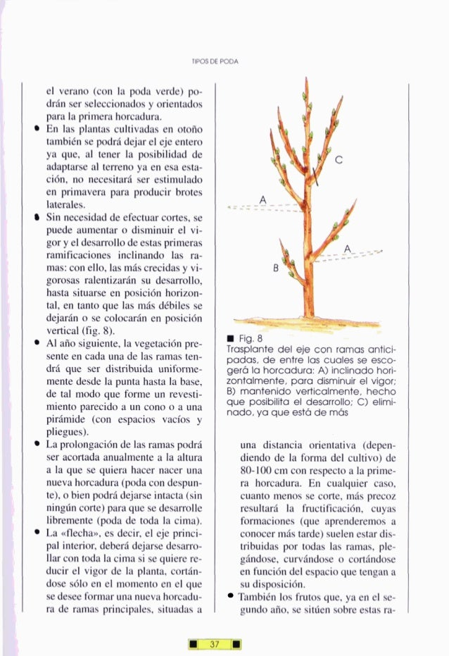 el verano (con la poda verde) po- drán ser seleccionadosy orientados para la primera horcadura. En las plantas cultivadas ...