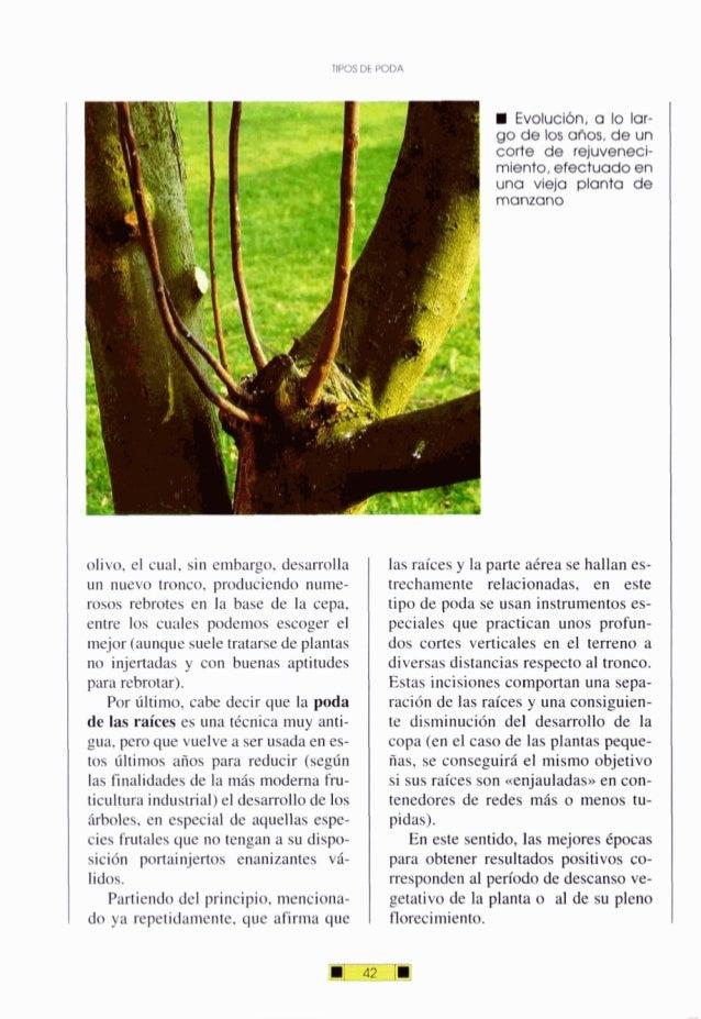 TIPOS DE PODA olivo, el cual, sin embargo. desarrolla un nuevo tronco, produciendo nume- rosos rebrotes en la base de la c...