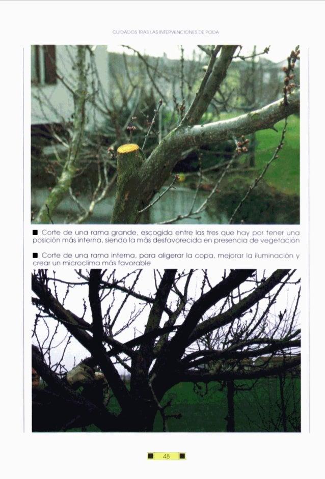 CUIDADOS TRAS LAS INTERVENCIONESDE PODA Corte de una rama grande, escogida entre las tres que hay por tener una posiciónmá...