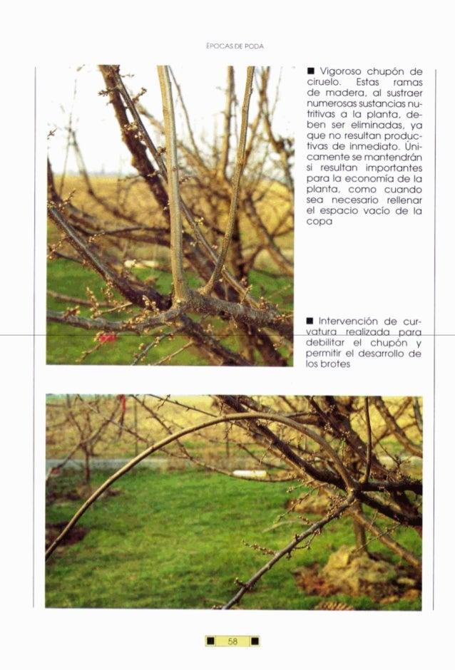 M Vigoroso chupón de ciruelo. Estas ramas de madera. al sustraer numerosassustanciasnu- tritivas a la planta, de- ben ser ...
