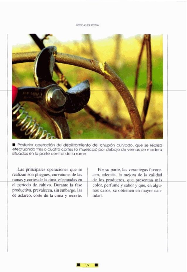 ÉPOCAS DE PODA Posterior operación de debilitamiento del chupón curvado, que se realiza efectuandotres o cuatro cortes (o ...
