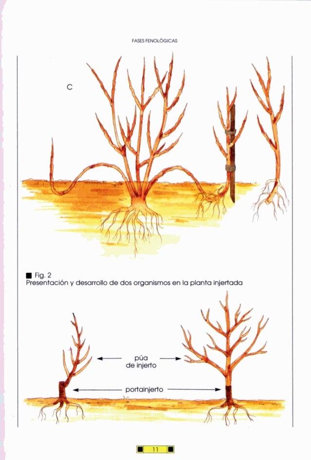 FASESRNOLGICAS Fig.2 Presentacióny desarrollo de dos organismosen la plantainjertada - púa -de injerto -portainjerto -