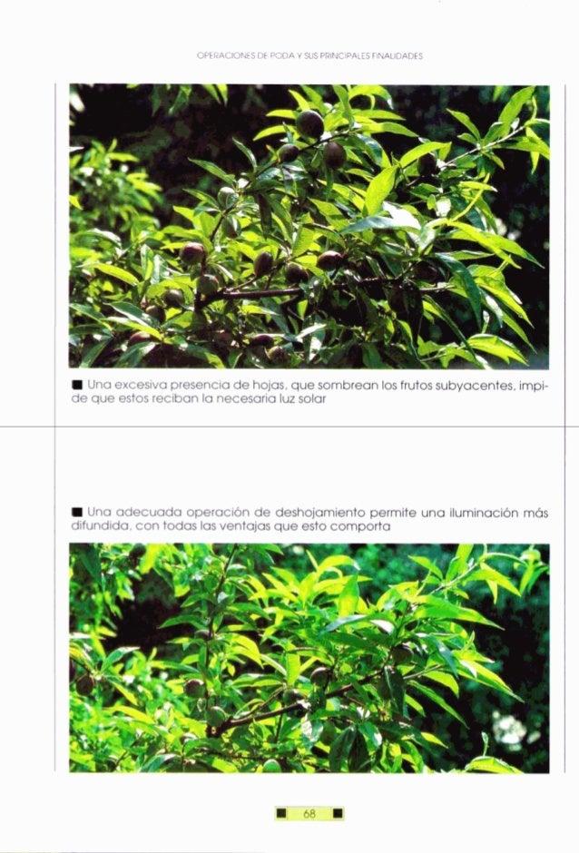 OPERACIONESDE PODA Y SUS PRINCIPALESFINALIDADES IUna excesiva presenciade hojas,que sombrean losfrutossubyacentes,impi- de...