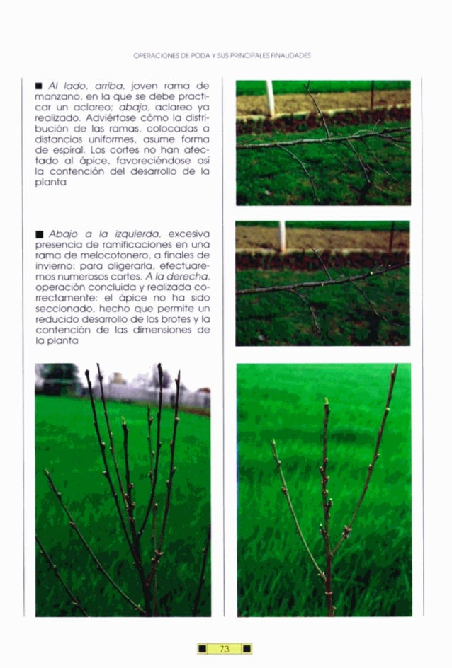 OPERACIONESDE PODA Y WS PRINCIPALES FINAUDADES Al lado, arriba, joven rama de manzano, en la que se debe practi- car un ac...