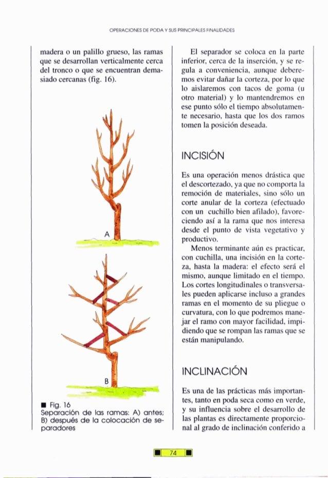 OPERACIONESDE PODA Y SUSPRINCIPALESFINALIDADES madera o un palillo grueso, las ramas que se desarrollan verticalmentecerca...