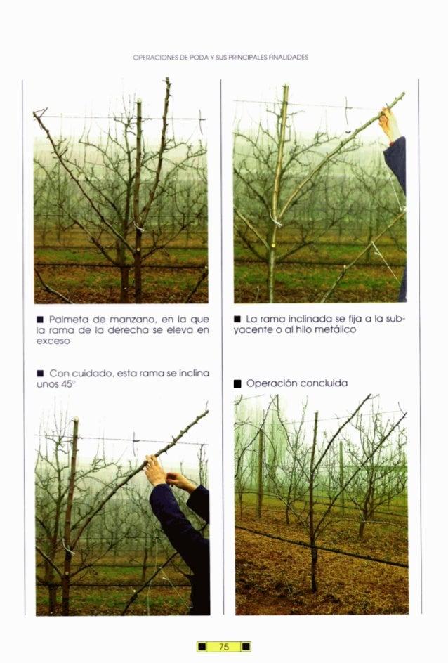 OPERACIONESDE PODA Y SUS PRINCIPALES FINALIDADES Palmeta de manzano, en la que la rama de la derecha se eleva en exceso Co...