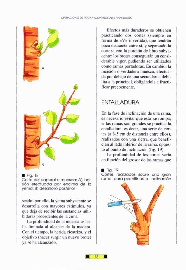 OPERACIONESDEPODAY SUS PRINCIPALESFINALIDADES Fig. 18 Corte del caporal o muesca: A) lnci- sión efectuada por encima de la...