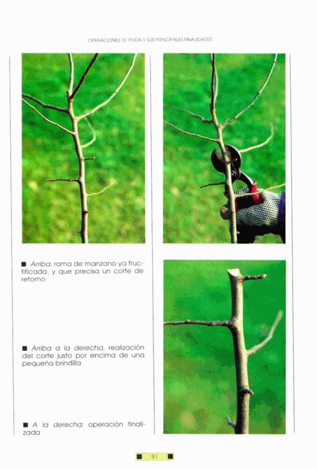 OPERACIONESDE PODAY SUS PRINCIPALESFINALIDADES Arriba,rama de manzanoya fruc- tificada, y que precisa un corte de retorno ...