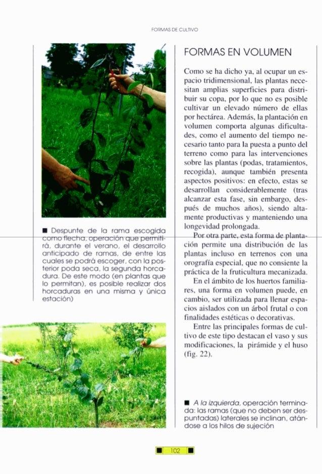 FORMAS DECULTIVO W Despunte de la rama escogida comoflecha, operaciónque permiti- rá, durante el verano, el desarrollo ant...