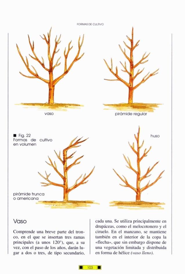 FORMASDEC U L N Fig.22 Formas de cultivo en volumen pirámidetrunca o americana Vaso Comprende una breve parte del tron- co...