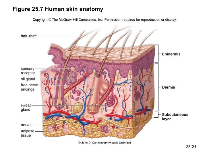 Skin Anatomy Diagram Images Human Body Anatomy