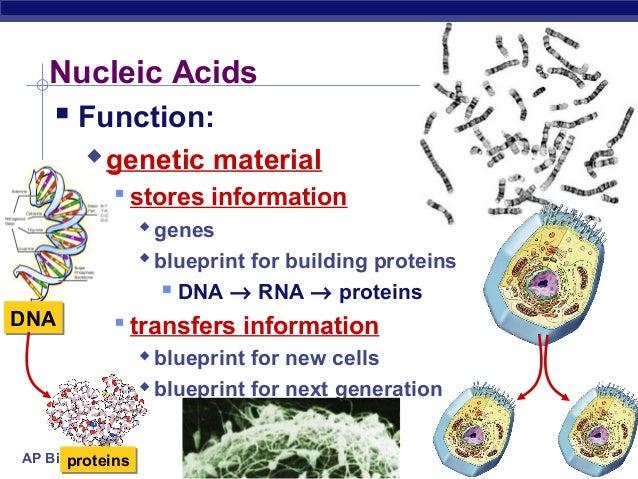 25 Ch03nucleicacids2008