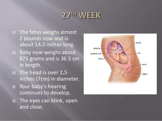 25th-32nd week of pregnancy