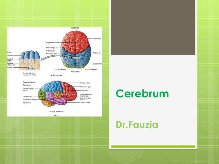 Cerebrum Dr.Fauzia