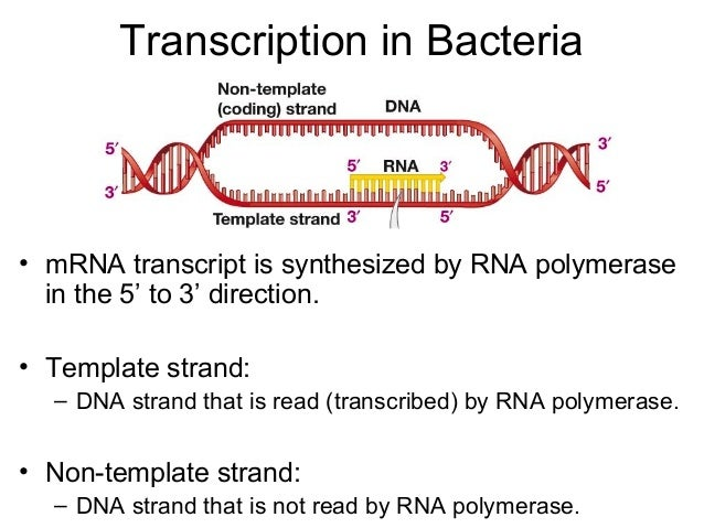 what is a template in dna - dna non template