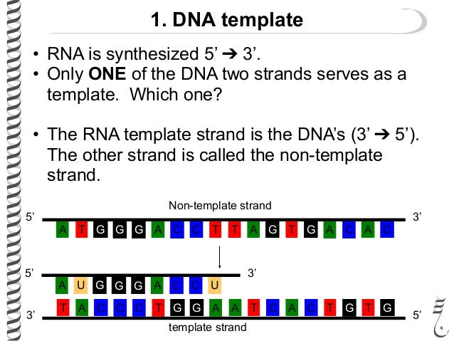 what is the template strand - the flow of genetic information flashcards easy notecards