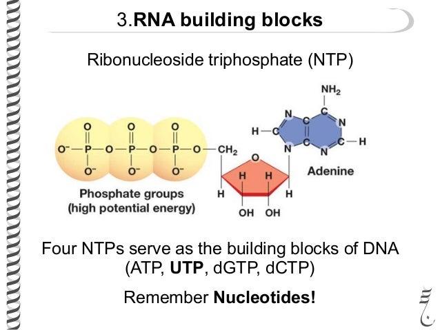 Building Blocks Dna And Rna
