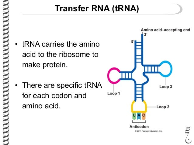 amino acids rna diagram transfer rna diagram #7