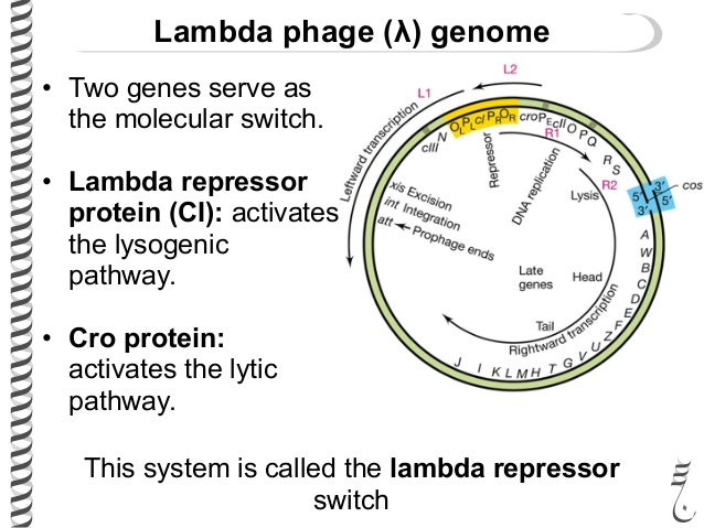 lytic lysogenic switch in phage lambda Stability and instability in the lysogenic state of phage lambda to measure the frequency with which the lysogenic state switches to the lytic state, we grew cultures of the.