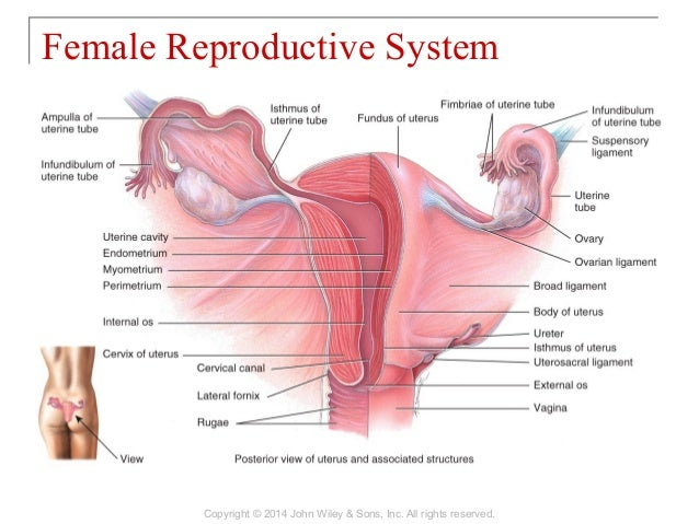 28 [chapter 28 the reproductive system]