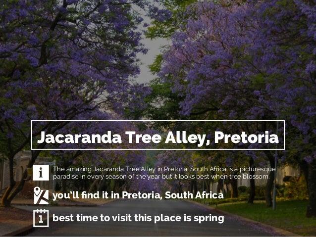 Jacaranda Tree Alley, Pretoria  The amazing Jacaranda Tree Alley in Pretoria, South Africa is a picturesque  paradise in e...