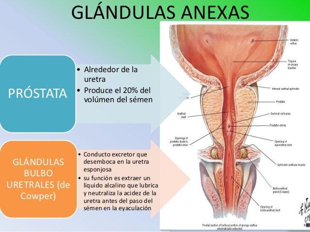 glandulas del pene