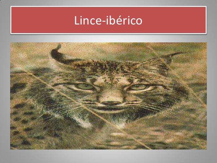 Lince-ibérico