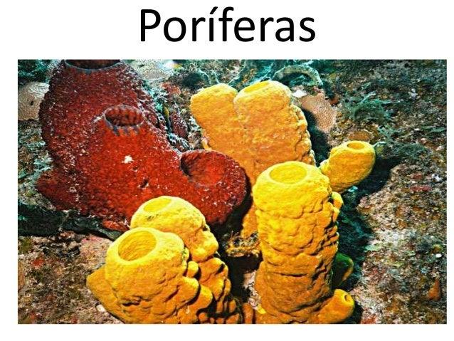 Poríferas