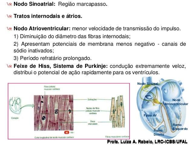  Nodo Sinoatrial: Região marcapasso.  Tratos internodais e átrios.  Nodo Atrioventricular: menor velocidade de transmis...