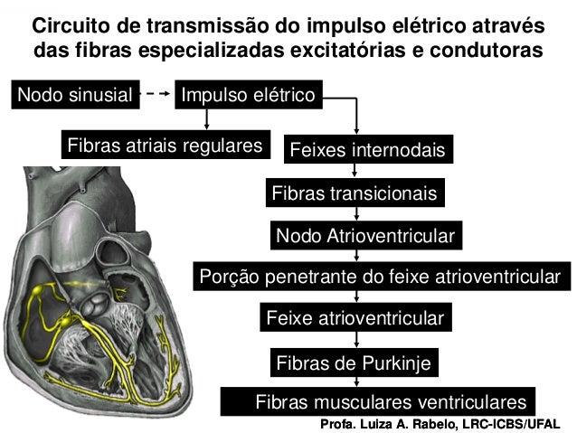Circuito de transmissão do impulso elétrico através   das fibras especializadas excitatórias e condutoras Nodo sinusial   ...