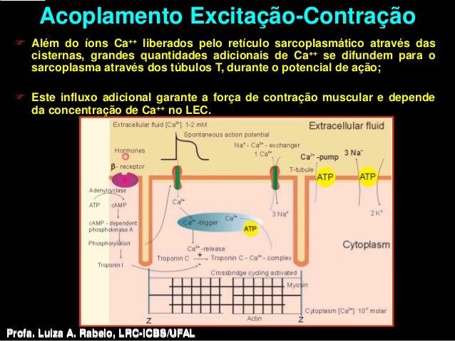 Acoplamento Excitação-Contração  Além do íons Ca++ liberados pelo retículo sarcoplasmático através das   cisternas, grand...