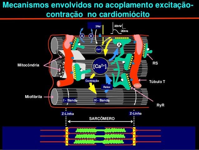 Mecanismos envolvidos no acoplamento excitação-         contração no cardiomiócito                                        ...