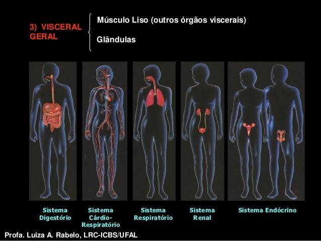 Músculo Liso (outros órgãos viscerais)       3) VISCERAL       GERAL              Glândulas          Sistema       Sistema...