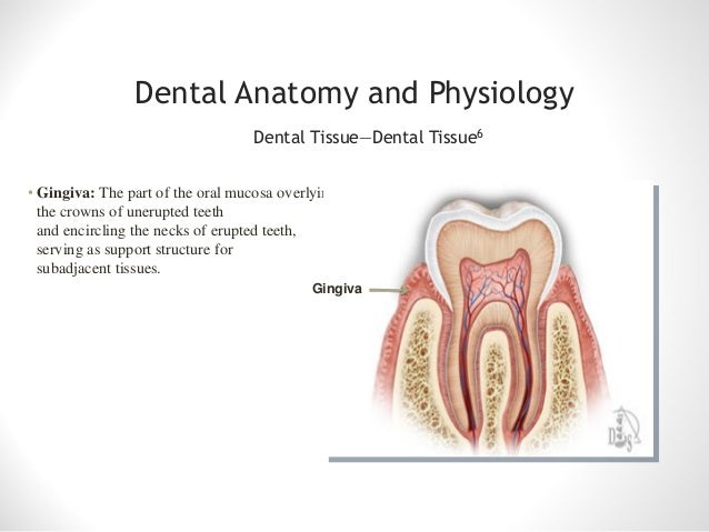 Anatomy of tooth