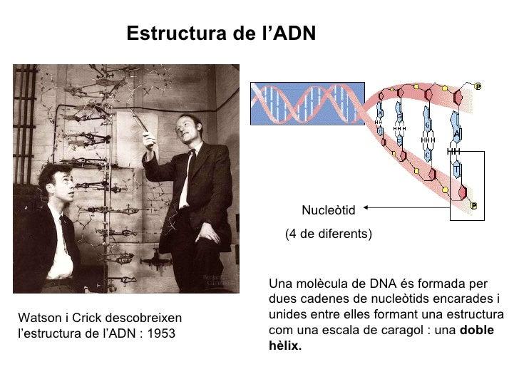Estructura de l'ADN Watson i Crick descobreixen l'estructura de l'ADN : 1953 Una molècula de DNA és formada per dues caden...