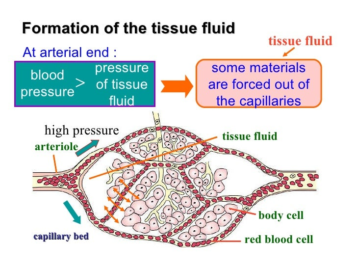 Tissue Fluid: Formation and Functions | Plasma | Blood | Biology