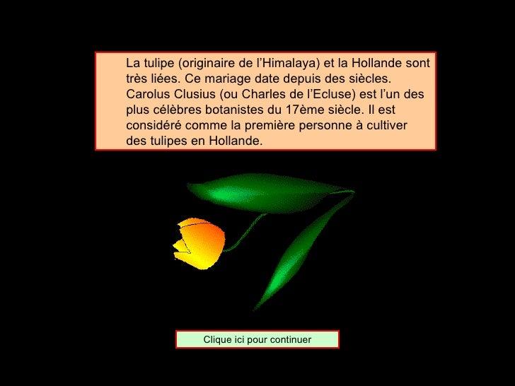 <ul><ul><li>La tulipe (originaire de l'Himalaya) et la Hollande sont très liées. Ce mariage date depuis des siècles.  Caro...