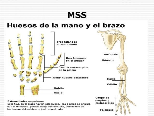 Anatomía de la extremidad superior. antebrazo y mano